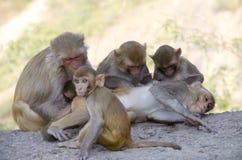 Das wilde Tier ein Affe ein Makaken in Indien Stockfotos