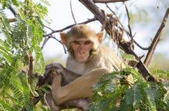 Das wilde Tier ein Affe ein Makaken in Indien Lizenzfreies Stockfoto