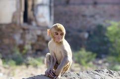 Das wilde Tier ein Affe ein Makaken in Indien Lizenzfreie Stockbilder