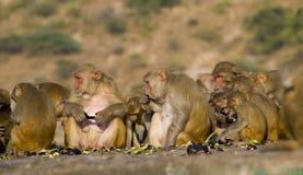 Das wilde Tier ein Affe ein Makaken in Indien Lizenzfreie Stockfotografie