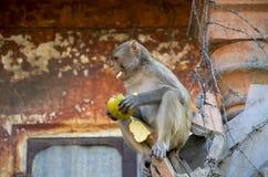 Das wilde Tier ein Affe ein Makaken in Indien Stockfotografie