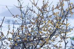 Das Wintersweet und der Schnee Stockbilder