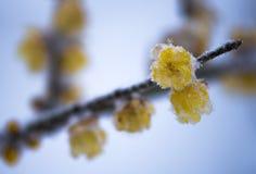 Das Wintersweet und der Schnee Stockfotos