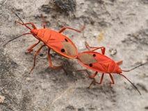 Das Züchten oder der Anschluss des roten Kapoks hört ab (Probergrothius-nigricornis Stockfotos