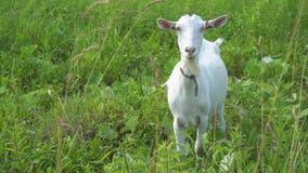 Das Ziegenkauen, aufwerfend und meditieren auf dem Rasen stock video