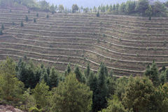 Dasan terraces of anxi county, china Royalty Free Stock Photo
