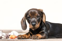 Daschshund-puppyfront Ansicht und weißer Hintergrund Stockfotos
