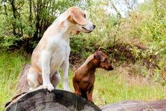 Daschund和小猎犬 免版税库存图片