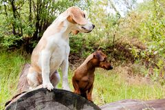 Daschund and beagle Royalty Free Stock Images