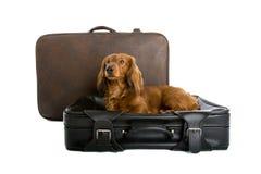 Daschund che si trova sulla valigia Fotografia Stock