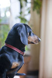 Daschund dog profile Royalty Free Stock Photos