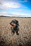 Daschund in the field. A wire haired Daschund dog sitting in a recently harvested wheat field stock photography