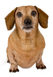 Daschund Looking Forward. Little brown dog with big brown eyes looking forward on a white background Royalty Free Stock Photos