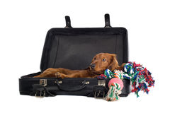 Daschund lying in suitcase Stock Photo