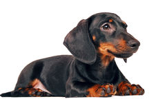 Daschund puppy. On isolated white background Royalty Free Stock Photography