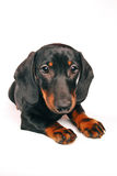 Daschund puppy Royalty Free Stock Images