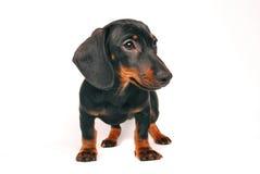 Daschund puppy Stock Image