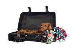 Daschund que encontra-se na mala de viagem foto de stock