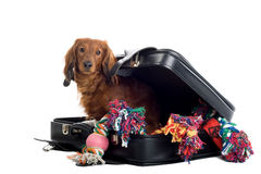 Daschund with suitcase. Close up of Daschund dog peering around open suitcase of colorful soft garments and toys Stock Photos