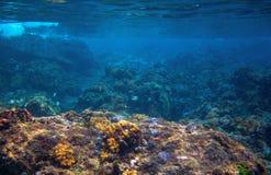Dascillus fish in coral reef landscape. Tropical sea animal underwater photo. Coral reef seascape. Warm sea nature. Colorful tropical fish and coral. Undersea stock photo