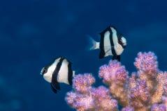 Dascyllus δύο humbug πέρα από το κοράλλι Στοκ Εικόνες