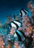 Dascyllus-Fische verstecken sich innerhalb des Riffs in Hurghada stockbilder