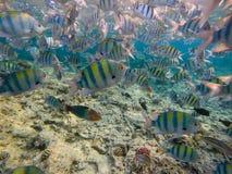 Dascyllus fiskskola i det blåa havet Undervattens- sikt av korallfisken fotografering för bildbyråer