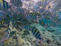Dascyllus fiskskola i det blåa havet Undervattens- sikt av korallfisken arkivbild