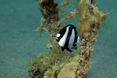 Dascyllus Hambug (aruanus dascyllus) στη Ερυθρά Θάλασσα. Στοκ Φωτογραφίες