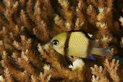 Dascyllus reticulatus - Damsel stock photos