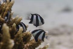 Dascyllus Threebar (aruanus Dascyllus) Στοκ Εικόνες
