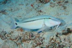 Dash-and-dot goatfish Stock Image