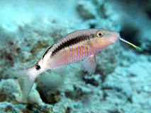 Dash-and-dot goatfish. In red sea royalty free stock photography