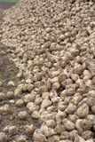 A dash of sugar beet on the field. During atumn time Stock Photos