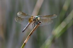 微笑的蓝色Dasher蜻蜓坐芦苇 免版税库存照片