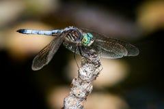 Dasher azul sobre Autumn Leaves Fotografía de archivo libre de regalías