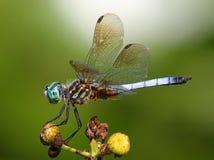 Dasher bleu Image libre de droits