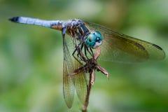 Dasher blu Fotografie Stock Libere da Diritti