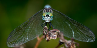 Dashing Blue Dasher Royalty Free Stock Images