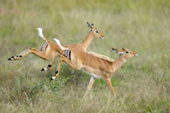 Dashing impala. Two young impalas caught in action as they run away at a fast pace Royalty Free Stock Images