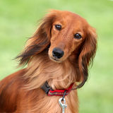 Dashund dog in a garden Stock Image