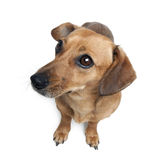 Dashund in front of a white background Royalty Free Stock Images