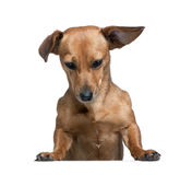 Dashund in front of a white background Royalty Free Stock Image