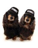 2 Dashunds с бейсбольными кепками безопасностью Стоковое Фото