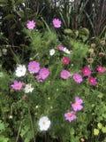 Dasie cor-de-rosa Foto de Stock Royalty Free