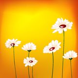 Dasie flower in the field. Daisies in the field at sunset time royalty free illustration