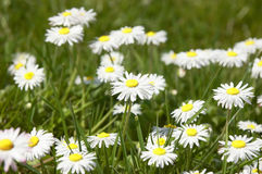 Dasies. In grass in detail Stock Photo