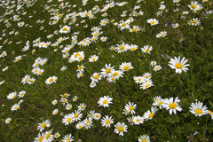 Dasies At an Angle royalty free stock image