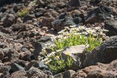 Dasies flower grow on basalt stone royalty free stock photos
