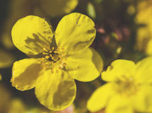 Dasiphora fruticosa shrubby cinquefoil Stock Photo